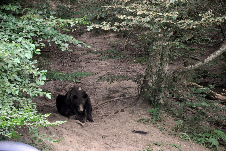 Wild-bear-watching