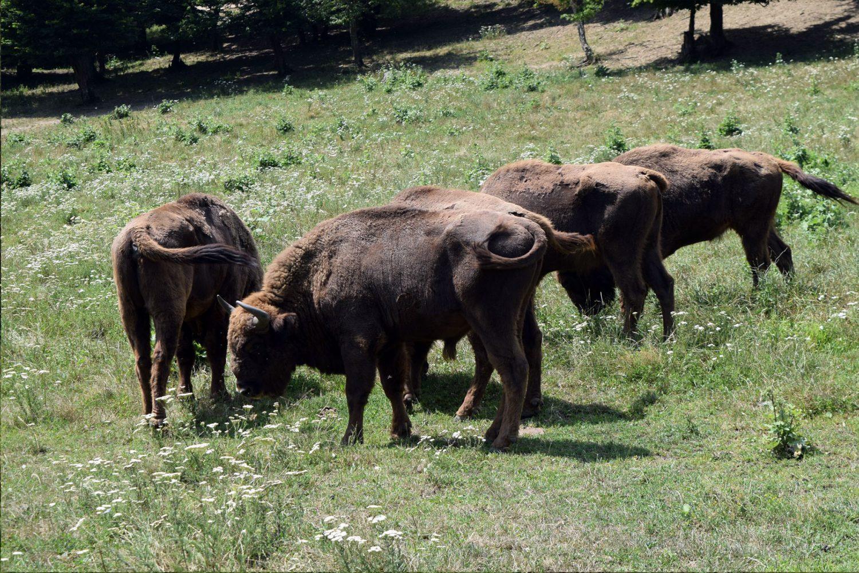 European Bison Reserve