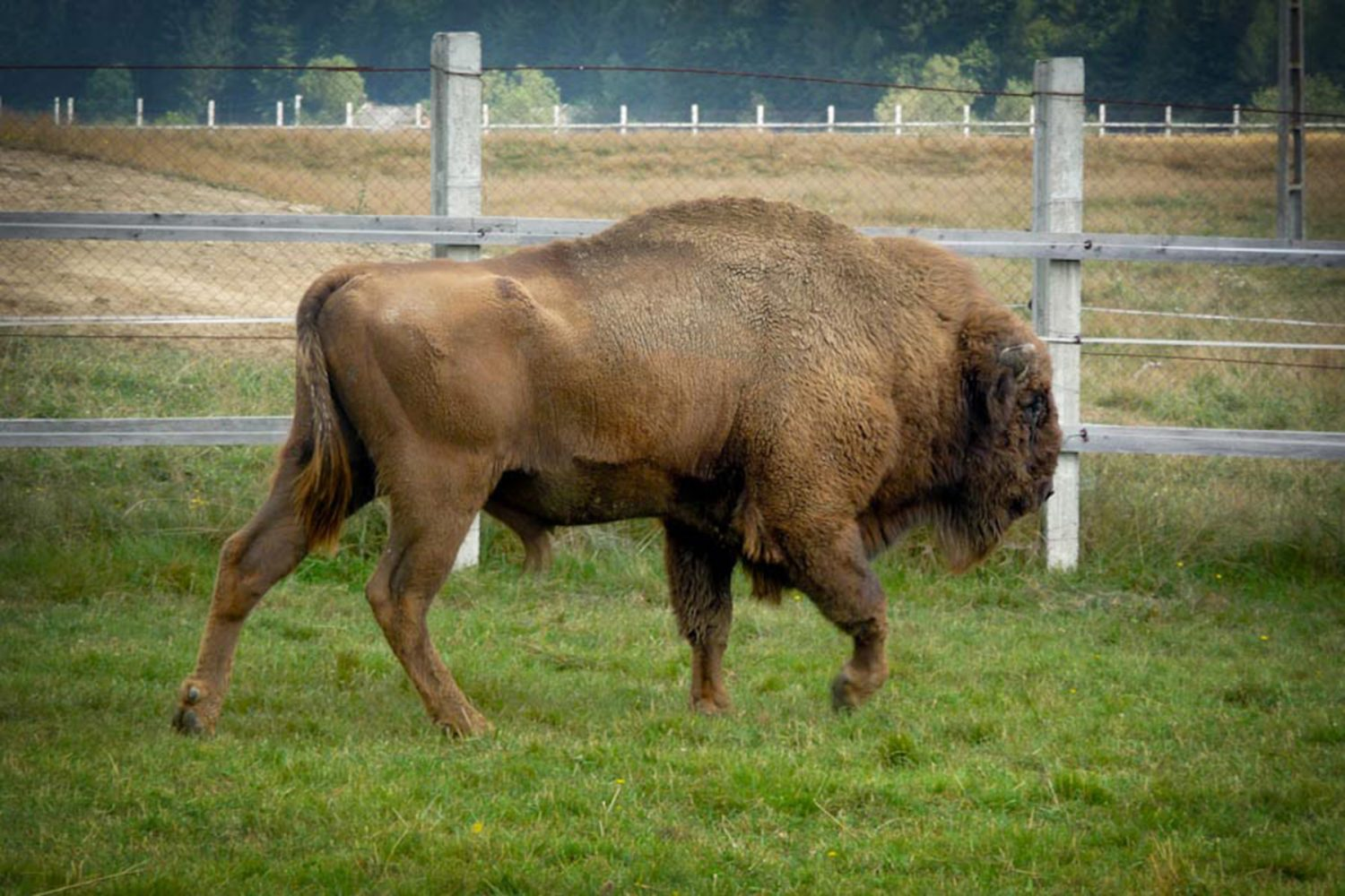 European-bison-reservation